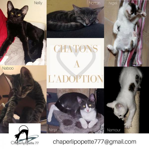 Chatons a l adoption